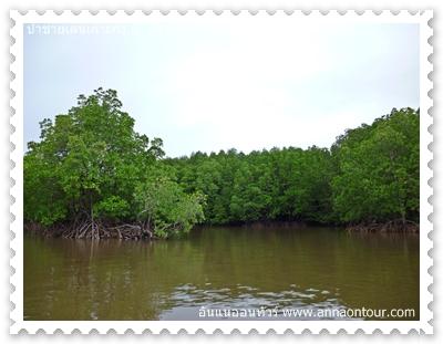 ป่าชายเลนเป็นต้นโกงกาง