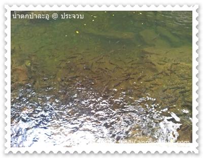 ปลาพวงในน้ำตกป่าละอู ชั้นที่ 3