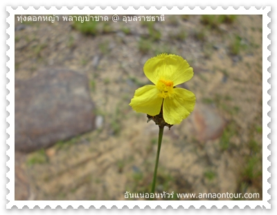 ดอกสีเหลือง ดอกอะไรไม่รู้แต่สวยอะ