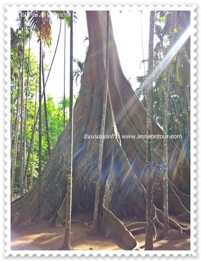 ต้นไม้ยักษ์ ต้นผึ้งยักษ์ หรือต้นเซียงยักษ์