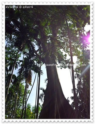 ต้นเซียง หรือต้นผึ้งขนาดใหญ่