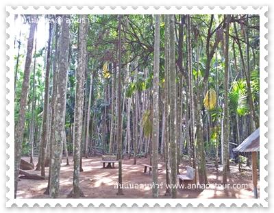 ดงปาล์มที่อยู่บริเวณต้นไม้ยักษ์